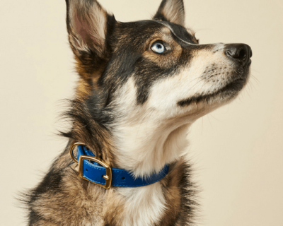 DESIGNER LEATHER DOG COLLAR Royal Blue