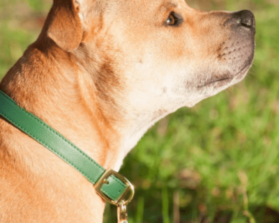 DESIGNER LEATHER DOG COLLAR Hunter Green