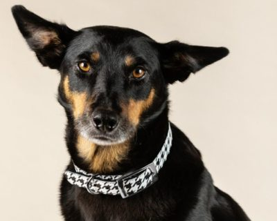 DESIGNER LEATHER DOG COLLAR LIMITED EDITION Houndstooth